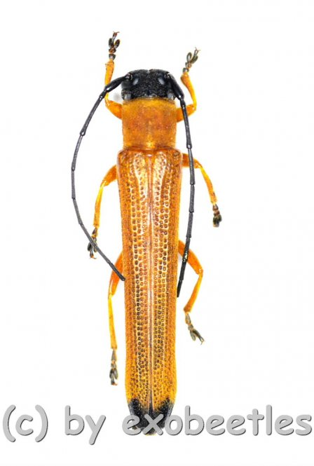 Oberea spec.  ( 20 - 24 )