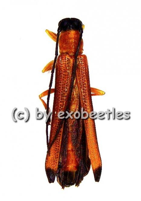 Oberea walkeri  ( 15 - 19 )  A2