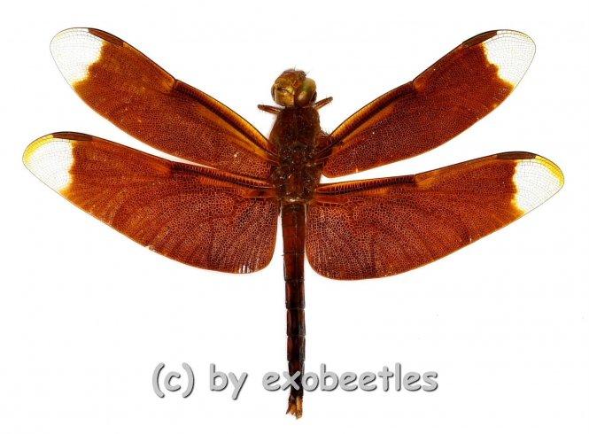 Odonata spec. #3
