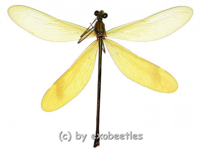 Odonata spec. #4