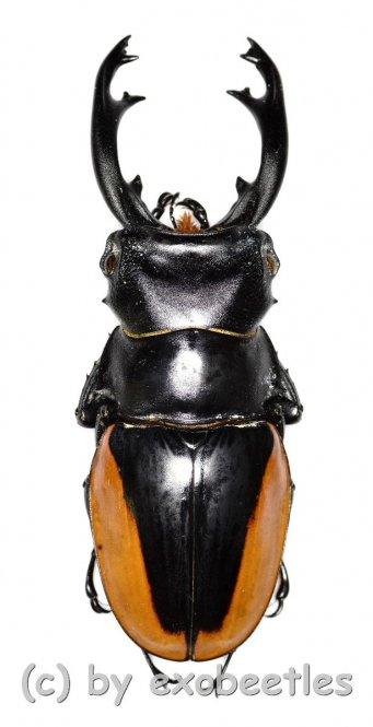 Odontolabis cuvera ssp.fallaciosus ( telodonte )  ( 70 – 74 )
