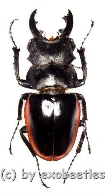 Odontolabis cuvera ssp.fallaciosus ( mesodonte )  ( 60 - 64 )