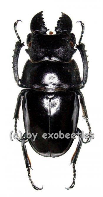 Odontolabis latipennis  ( 60 - 64 )