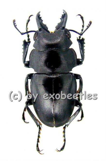 Odontolabis platynota platynota ( amphiodonte )  ( 25 - 29 )