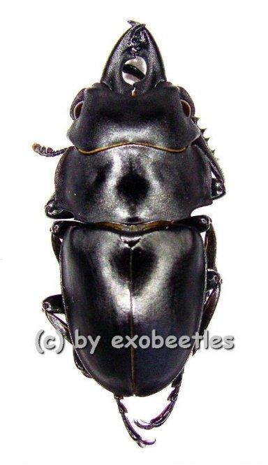 Odontolabis platynota platynota  ( 30 - 34 )