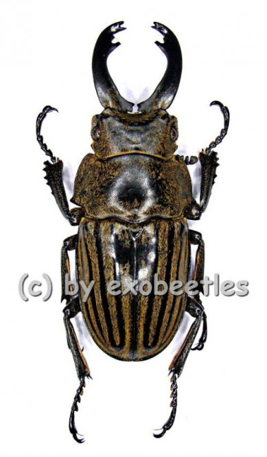 Odontolabis striata  ( 45 - 49 )