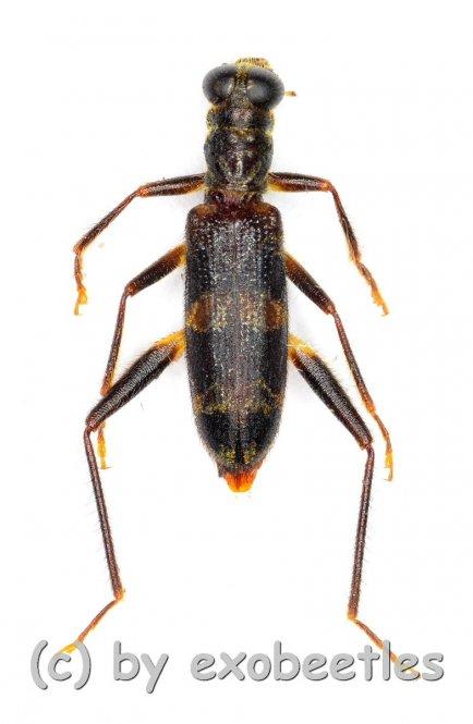 Omadius spec.  ( 5 – 14 )