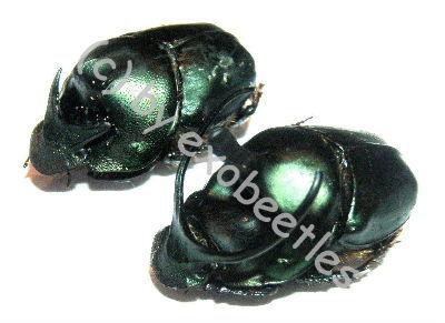 Onthophagus mouhoti  ( M 15 – 19 )