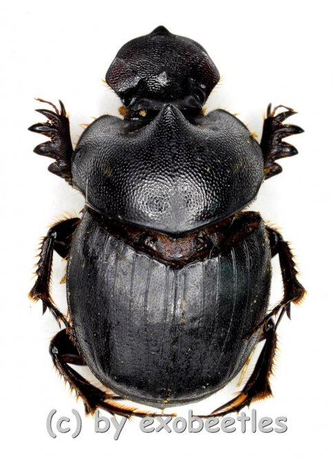 Onthophagus spec.  ( 15 – 19 )  A2