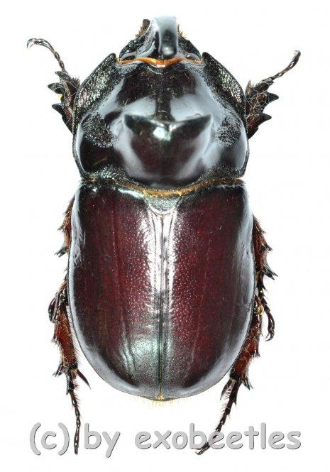 Oryctes ravanalo f.acuticollis  ( 40 - 44 )  A1-