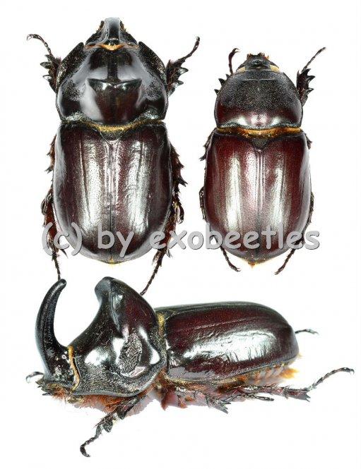 Oryctes ravanalo f.acuticollis  ( M 45 - 49 )