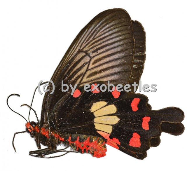 Pachliopta aristolochiae goniopeltis  A2