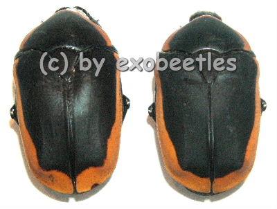 Pachnoda marginata  ( 20 - 24 )