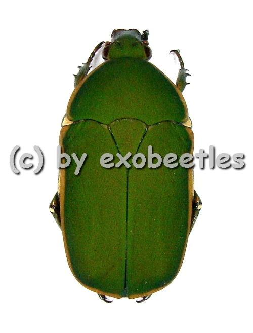 Pachnodella ( Marmylidia ) marginella  ( 20 - 24 )