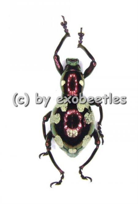 Pachyrrhynchus gemmatus purpureus ( Doliops mimicry )  ( 10 - 19 )