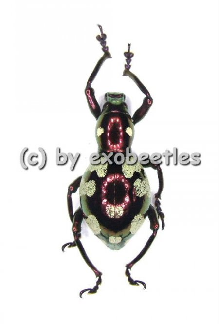Pachyrrhynchus gemmatus purpureus ( Doliops mimicry )