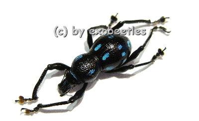 Pachyrrhynchus spec. #1 ( blau )