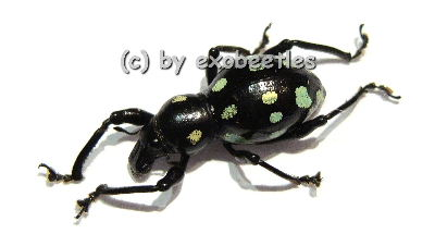 Pachyrrhynchus spec. #1 ( grün )