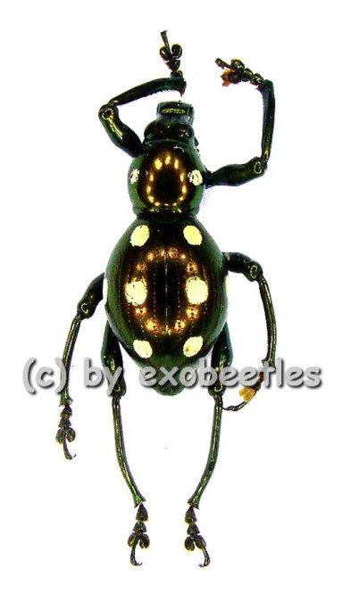Pachyrrhynchus spec. #7  ( 15 - 19 )