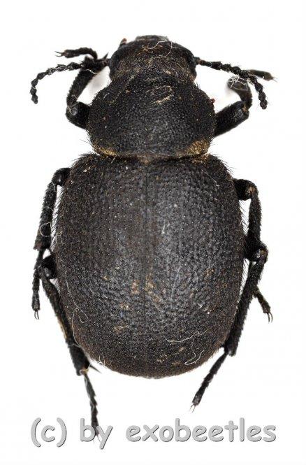 Pachysalis villosa  ( 15 - 19 )