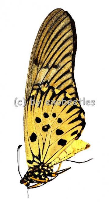 Papilio antimachus  A2