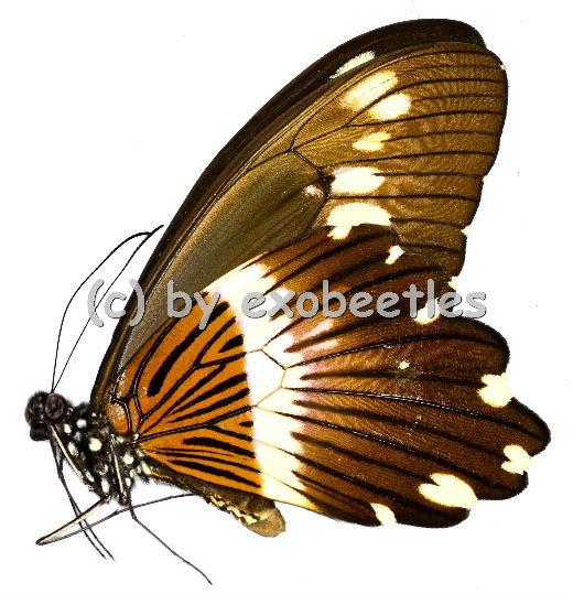 Papilio cyproeofila  A2