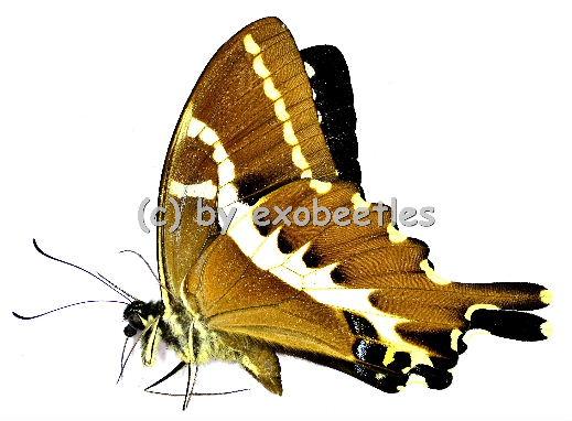 Papilio delalandei