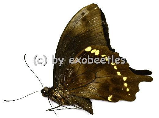 Papilio epiphorbas