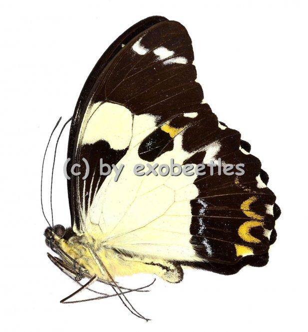 Papilio euchenor  A2