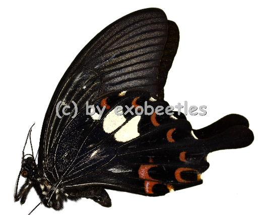Papilio helenus helenus  A1-