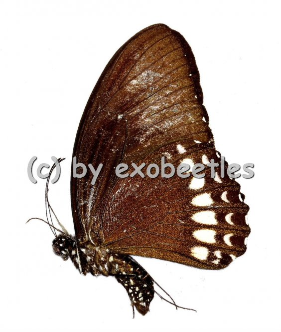 Papilio mahadeva mahadeva