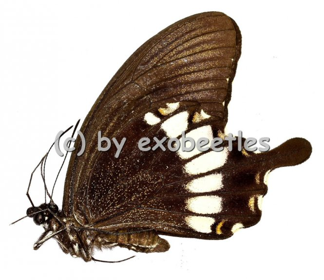 Papilio prexaspes pitmani