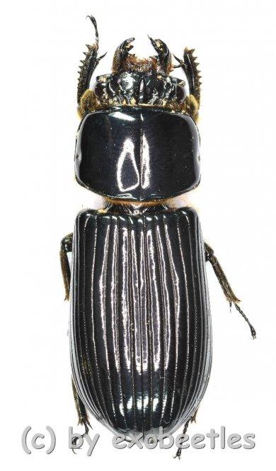 Passalidae spec.  A2
