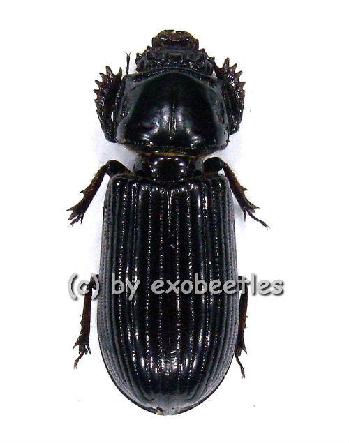 Passalidae spec. #2 ( schwarz )