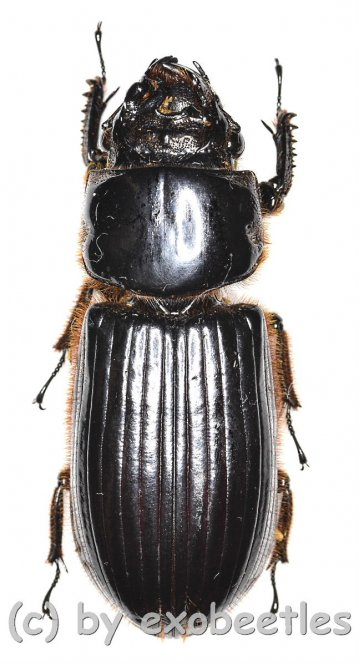 Passalidae spec. #4  ( 40 – 44 )
