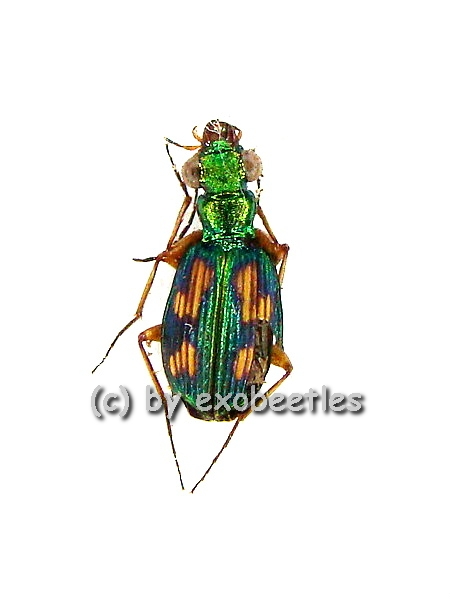 Pericalus ( Coeloprosopus ) figuratus  ( 5 - 9 )