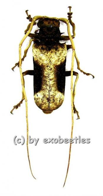 Petrognatha gigas  ( 40 - 44 )