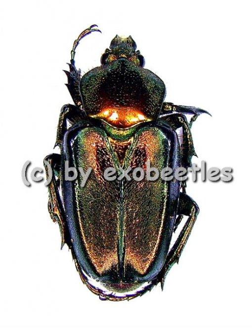Phaedimus howdeni var.1