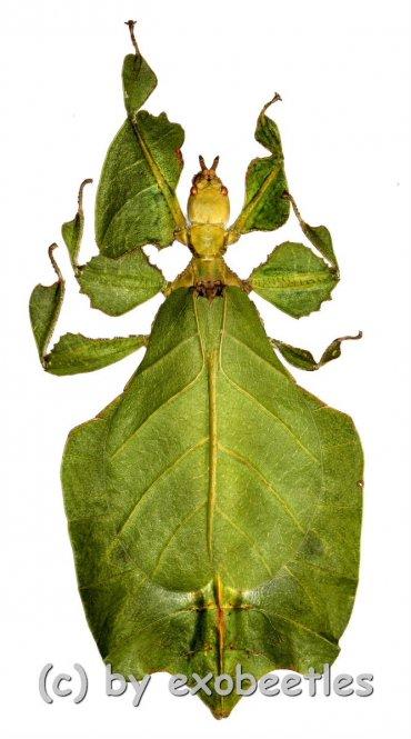 Phyllium bioculatum f.pulchrifolium ( Freak ) #2  ( 80+ )