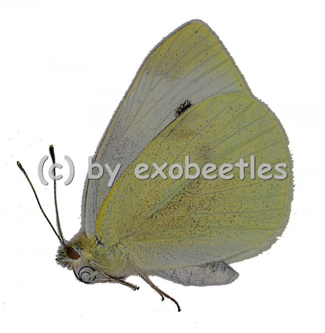 Pieris rapae  A2