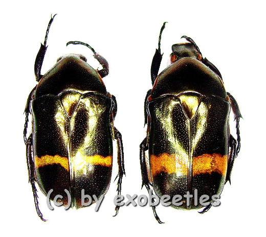 Plaesiorrhina plana cinctoides  ( 25 - 29 )