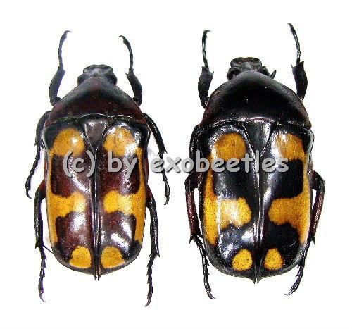 Plaesiorrhinella mhondana f.scalaris  ( 20 - 24 )  A2