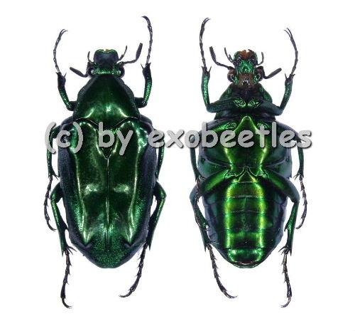 Plectrone endroedii ( grüne var. )