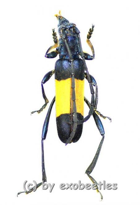 Polyzonus latefasciatus  ( 20 – 24 )