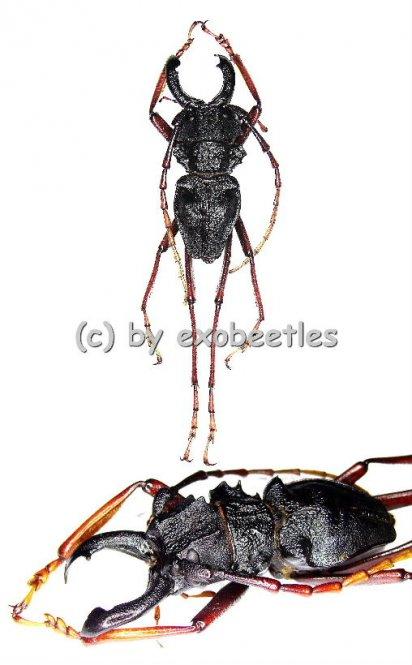 Prionocalus cacicus  ( 50 – 54 )