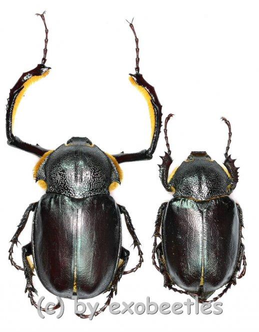 Propomacrus bimucronatus  ( M 35 - 39 )