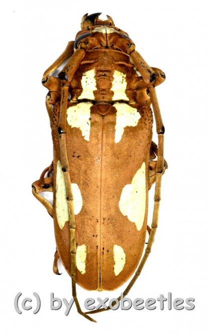 Prosopocera lactator  ( 35 – 39 )