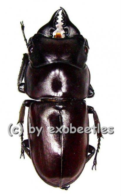 Prosopocoilus antilopus antilopus  ( 25 - 29 )