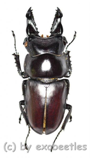 Prosopocoilus bulbosus mandibularis  ( 30 - 34 )