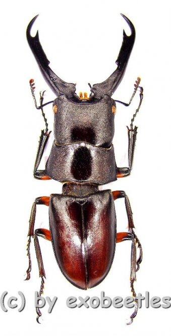 Prosopocoilus capricornus  ( 35 - 39 )